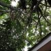 Rindangnya Ki Hujan dan pohon lainnya