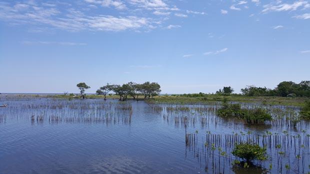 Rehabilitasi mangrove di desa Bawa Soa yang tidak berhasil