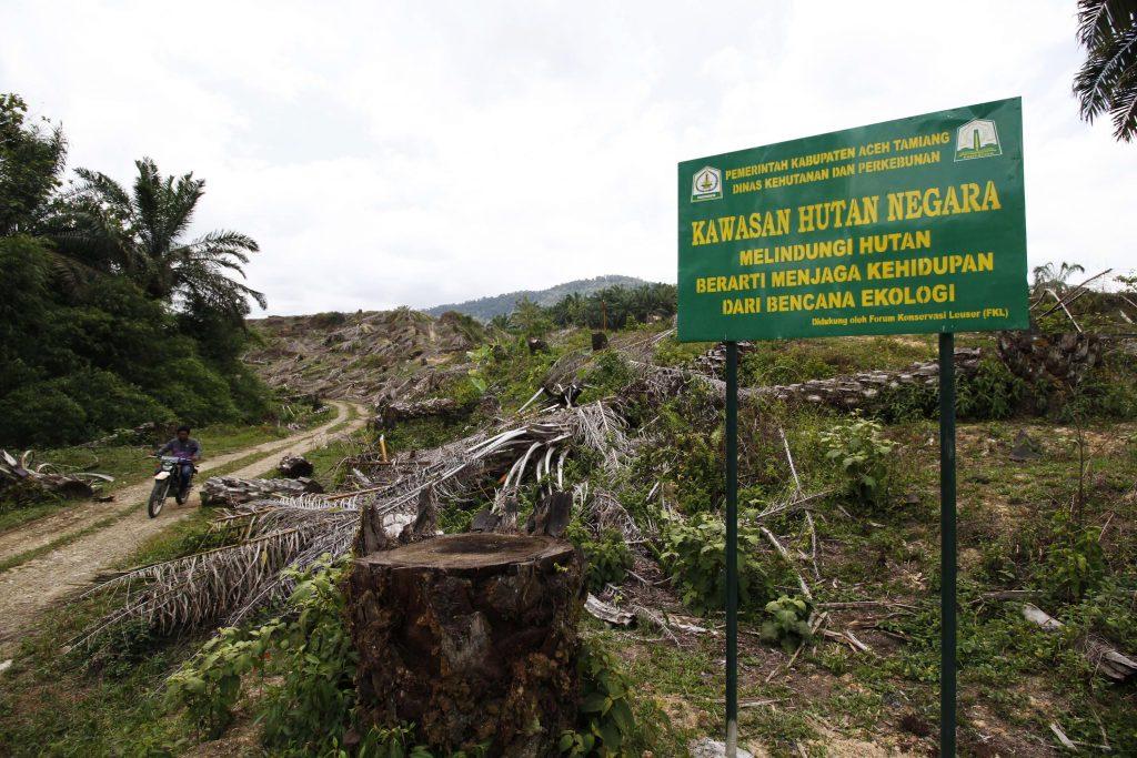 Lahan sawit yang dimusnahkan Foto; Mongabay